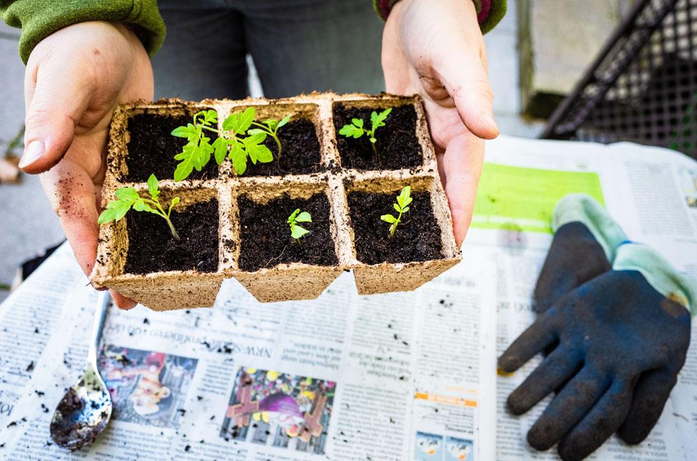 Tomatenpflanzen werden von Ratingen.nachhaltig beim Urban Gardening umgepflanzt